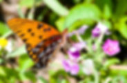 Picture of a gulf fritillary butterfly feeding on phlox in Hernando County, Florida as a fine art nature print for the wall of your home or office.