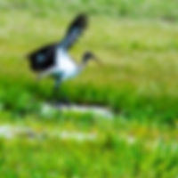 Picture of an immature American white ibis taking flight from a pasture pond as a fine art nature print for the wall of your home or office.