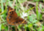 Picture of a common buckeye butterfly in Hillsborough County, Florida's E.G. Simmons Park as a fine art nature print for the wall of your home or office.