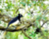 Picture of a plush-crested jay in Argentina's Parque Nacional Iguazu as a fine art nature print for the wall of your home or office.