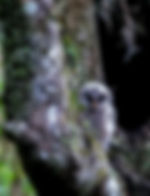 Picture of a newly fledged barred owl watches in Tampa, Florida's Lettuce Lake Park as a fine art nature print for the wall of your home or office.
