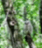 Picture of a young barred owl just after leaving its nest in Tampa, Florida's Lettuce Lake Park as a fine art nature print for the wall of your home or office.