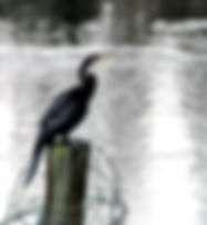 Picture of an anhinga on a barbed wire festooned post in the Alafia River as a fine art nature print for the wall of your home or office.