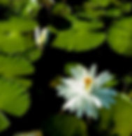 Picture of white lilies in a pond as a fine art nature print for the wall of your home or office.
