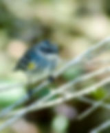 Pictures of warblers as fine art nature prints for the wall of your home or office.