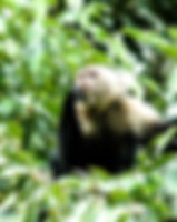 Picture of a white faced capuchin monkey in Costa Rica's Tortuguero Nacional Parque as a fine art nature print for the wall of your home or office.