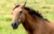 Picture of a horse seeming to laugh at a good joke as a fine art print for the wall of your home or office.