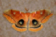 Picture of a polyphemus moth found in Riverview, Florida as a fine art nature print for the wall of your home or office.