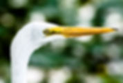 Picture of a great white egret posing in Lakeland, Florida's Lake Morton as a fine art nature print for the wall of your home or office.