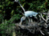 Picture of a great blue heron fixing its nest in the rookery in Venice, Florida as a fine art nature print for the wall of your home or office.