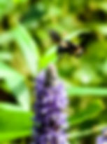 Picture of a bumble bee hovering around a pickerelweed flower at Lettuce Lake  Park as a fine art nature print for the wall of your home or office.