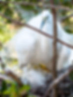 Picture of a great white egret with a chick in a rookery near Kissimmee, Florida as a fine art nature print for the wall of your home or office.