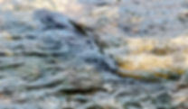 Picture of a mud fish in the shallow waters of Lakeland, Florida's Circle B Bar Preserve as a fine art nature print for the wall of your home or office.