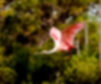 Picture of a roseate spoonbill flying over a fish farm in Ruskin, Florida as a fine art nature print for the wall of your home or office.