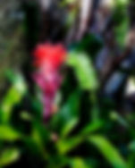 Picture of a red bromeliad flower as a fine art nature print for the wall of your home or office.