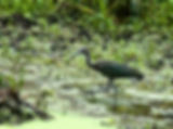 Picture of a juvenile glossy ibis in a marsh near Bishops Harbor, Florida as a fine art nature print for the wall of your home or office.