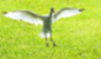 Picture of an American white ibis landing at Lakeland, Florida's Lake Morton as a fine art nature print for the wall of your home or office.