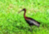 Picture of a glossy ibis in Ruskin, Florida as a fine art nature print for the wall of your home or office.
