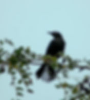Picture of a boat-tailed grackle in Tampa, Florida's Lettuce Lake Park as a fine artprint for the wall of your home or office.