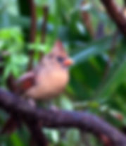 Picture of a female northern cardinal in an azalea bush as a fine art nature print for the wall of your home or office.