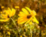 Picture of a variableleaf or wetland sunflower in Florida's Myakka River State Park as a fine art nature print for the wall of your home or office.