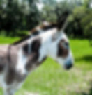 Picture of a spotted male donkey in western Hardee County, Florida as a fine art nature print for the wall of your home or office.