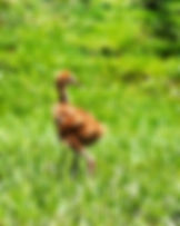 Picture of a sandhill crane chick that still has its yellow down as a fine art nature print for the wall of your home or office.