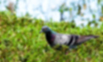 A rok pigeon as a fine art nature print for the walls of your home or office.