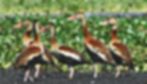 Picture of black-bellied whistling ducks in Argentina's Esteros del Ibara as a fine art nature print for the wall of your home or office.