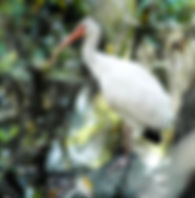 Picture of an American white ibis in Tampa, Florida's Lettuce Lake Park as a fine art nature print for the wall of your home or office.
