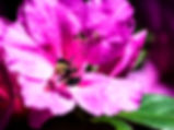 Picture of a common eastern bumble bee for the wall of your home or office, as a fine art nature print.