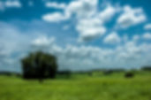 Picture of an eastern Hernando County, Florida pasture that frequently has swallow-tailed kites as a fine art nature print for the wall of your home or office.