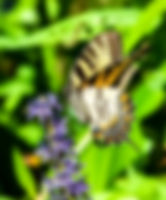 Picture of a tiger swallowtail butterfly on pickerelweed in Tampa, Florida's Lettuce Lake Park as a fine art nature print for the wall of your home or office.