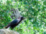 Picture of an American crow on a tree limb as a fine art nature print for the wall of your home or office.