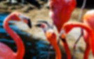 Picture of American flamingos in Florida as a fine art nature print for the wall of your home or office.