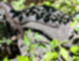 Picture of a brown water snake soaking up the heat of the sun in Tampa, Florida's Lettuce Lake Park as a fne art nature print for the walls of your home or office.