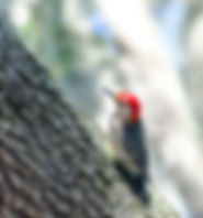Pictue of a red-bellied woodpecker searching a live oak tree in Riverview, Florida for insects as a fine art nature print for the walls of your home or office.
