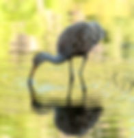 A limpkin as a fine art nature print for the walls of your home or office.