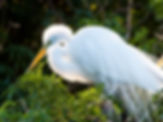 Picture of a sunshine accented great white egret as a fine art nature print for the wall of your home or office.