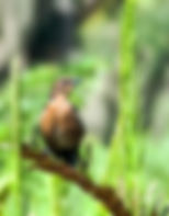 Picture of a female boat-tailed grackile in a marsh as a fine art nature print for the wall of your home or office.