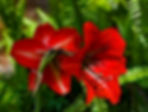 Picture of blooming red lilies as a fine art nature print for the wall of your home or office.