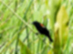 Picture of a red-winged blackbird balancing on a reed in a Riverview, Florida marsh as a fine art nature print for the wall of your home or office.