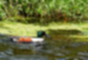 Picture of a northern shoveler drake swimming beside the Lake Apopka:North Shore wildlife drive as a fine art nature print for the wall of your home or office.