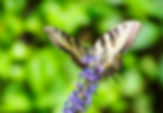 Picture of an eastern tiger swallowtail butterfly on a pickerweed flower as a fine art nature print for the wall of your home or office.