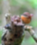 Pictures of wrens as fine art nature prints for the wall of your home or office.