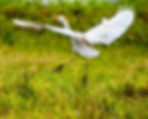 Picture of a cattle egret in flight in a pasture near Crystal Springs, Florida as a fine art nature print for the wall of your home or office.