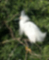 Picture of a snowy egret wit its feathers spread in a rookery near Kissimmee, Florida as a fine art nature print for the wall of your home or office.