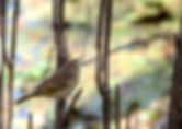 Picture of a palm warbler sitting in a low shrub in Tampa Florida's Lettuce Lake Park as a fine art nature print for the walls of your home or office.
