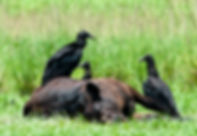 Picture of a black vultures around the carcass of a cow in Polk County, Florida as a fine art nature print for the wall of your home or office.