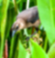 Picture of a female boat-tailed grackle searching in the reeds for something to eat on the shores of Lakeland, Florida's Lake Morton as a fine art nature print for the walls of your home or office.